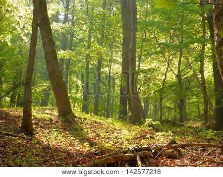 Sunny forest with trees and sun light