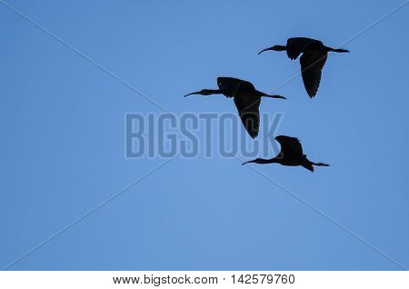 Flock of Three White-faced Ibis Silhouetted in a Blue Sky
