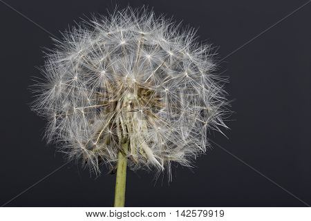 Old Dandelion flower macro photography with dark background.