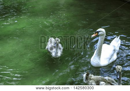 White swan with offspring in the water under the shade of trees