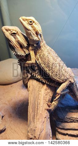 Pair of Bearded Dragons Basking In the Heat