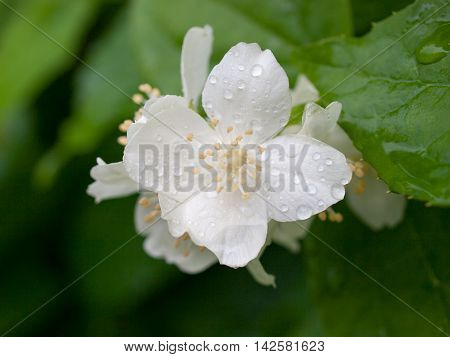 Close up image of Mock-orange (Philadelphus) flower with water drops