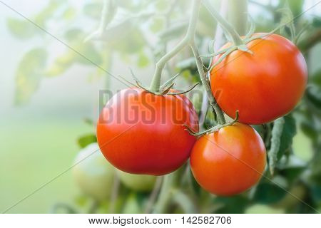 Ripe fresh Tomatoes growing in the vine