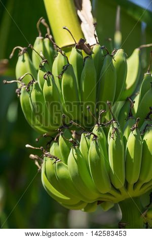 Organic Banana Bunch On A Tree