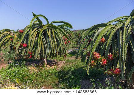 Dragon Fruit Or Pitaya Pitahaya Plantation In Thailand Hylocer
