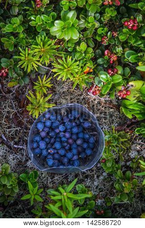 Blueberries and lingonberries in the mountainous tundra