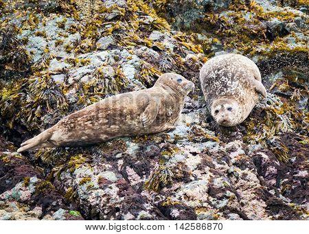 Spotted adult harbor seals resting on a rock shore near Ketchikan Alaska