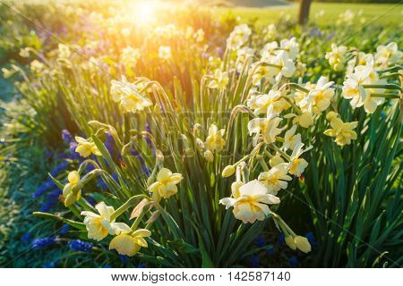 Yellow narcissus flowers and sun
