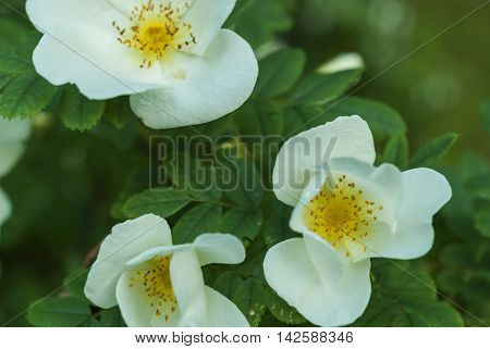 Blossom branch with flowers of white briar. Blurred background