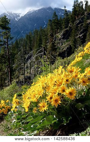Flowers arnica, trees and mountains. Fourth of July Trail near Leavenworth and Seattle Washington state USA.