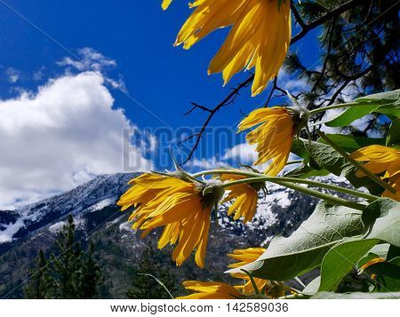 Bright yellow flowers and blue sky. Fourth of July Trail near Leavenworth and Seattle Washington state USA.