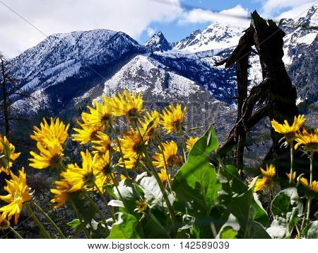 Backlit arnica flowers and snowy mountains. Fourth of July Trail near Leavenworth and Seattle Washington state USA.