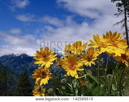 Wild flowers and mountains. Fourth of July Trail near Leavenworth and Seattle Washington state USA.