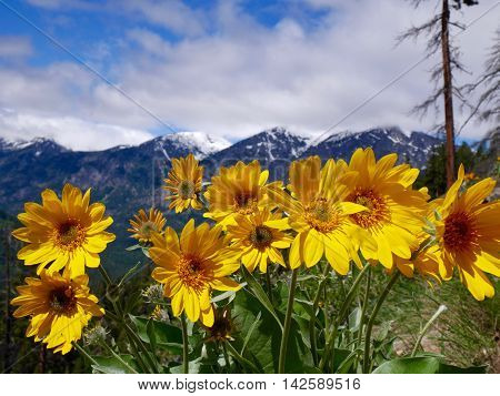 Yellow flowers, blue sky and snow capped mountains. Fourth of July Trail near Leavenworth and Seattle Washington state USA.