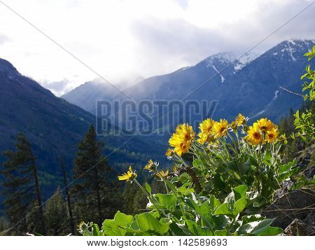 Backlit yellow flowers and mountains. Fourth of July trail near Leavenworth Washington State USA.