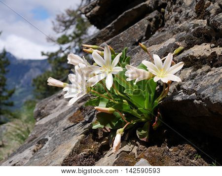 White Bitter Root flowers on rocks. Fourth of July Trail near Leavenworth and Seattle Washington state USA.