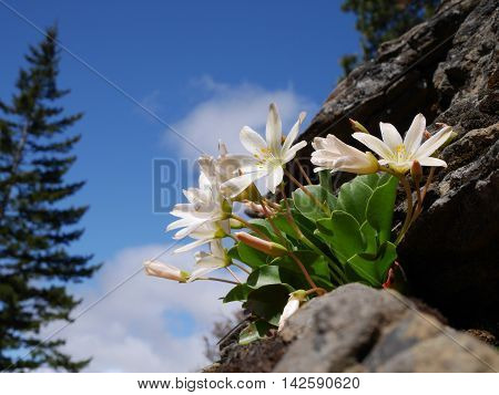 White flowers on rocks. Fourth of July Trail near Leavenworth and Seattle Washington state USA.