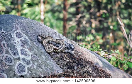 Three vipers entwined in a tangle and basking on stone under the sun in the forest.
