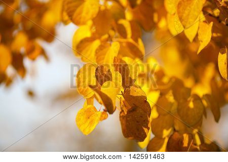 Autumn yellow leaves of poplar. Defocused picture