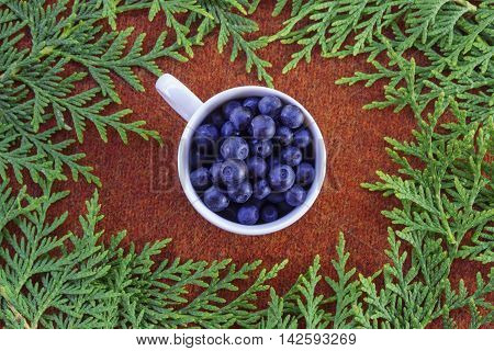 Green fluffy thuja branches and a white cup of blueberries on brown knitted cloth. Christmas background card top view