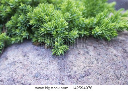 Evergreen juniper twig background. Photo of young bush with green needles on garden stones and pebbles