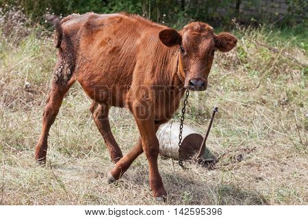 Young calf on a leash outdoors closeup