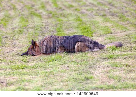 German Shepherd Dog Lying Down On Grass Waiting For A Command