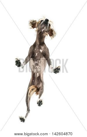 Pretty chinese crested dog stands in the studio on the white background. Photographed from below. Vertical.