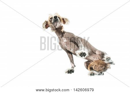 Wonderful chinese crested dog stands in the studio on the white background. Photographed from below. Horizontal.