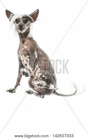 Friendly chinese crested dog sits in the studio on the white background. Photographed from below. Vertical.