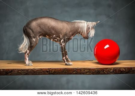 Curious chinese crested dog stands on the chipboard in the studio on the textured background. It looks at the red ball near it. Horizontal.