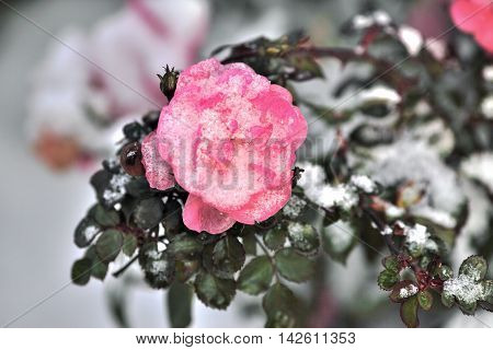 Pink rose in the snow. Snow on the pink rose. Survey carried out in Tomsk, Siberia, Russia.