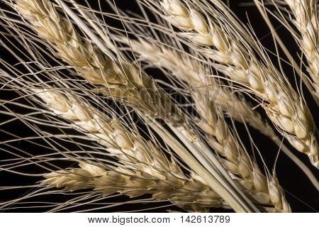 Spikelets barley close-up on a black background