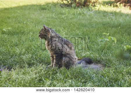 Siberian cat looking ahead in sideview on lawn