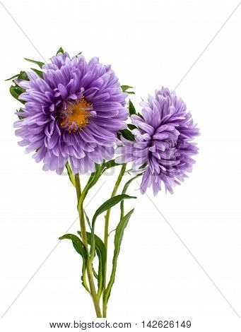 aster  flower nature on a white background