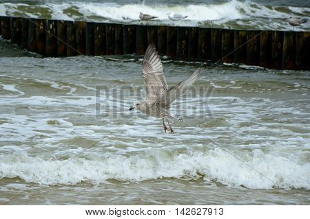 Seagull flying over baltic sea. Shallow depth of field.