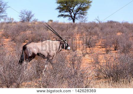 Gemsbok, Oryx Gazella In Kgalagadi