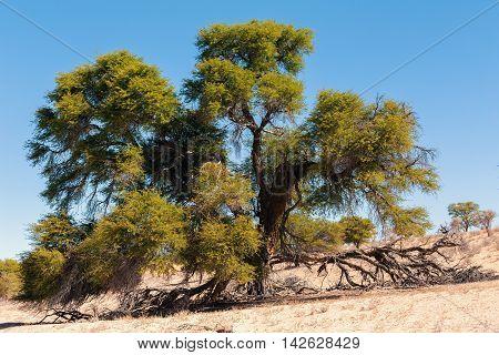 Dry Kgalagadi Transfontier Park