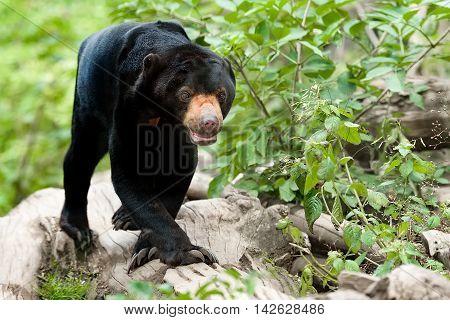 Malaysian Bear Or Sun Bear