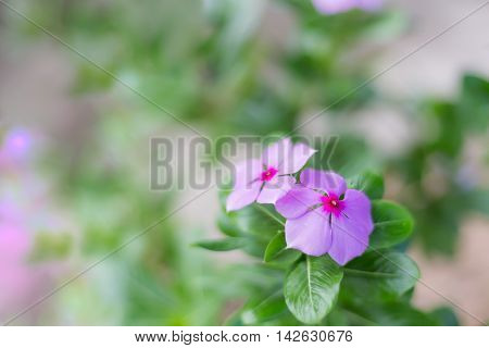purple Madagasgar Periwinkle flower with selective focus