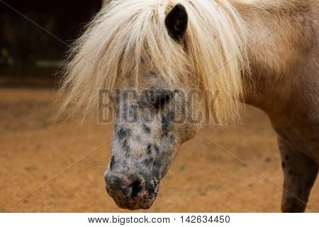 Portrait Of Spotted Pony In Farmyard