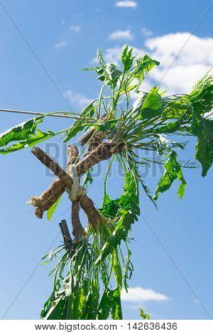 Cross horseradish in the sky, backdrop of the beautiful blue sky