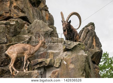 Great old Siberian ibex with big horns
