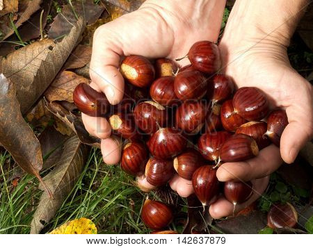 Hands picking up a number of chestnuts outside with autumn leaves on the ground