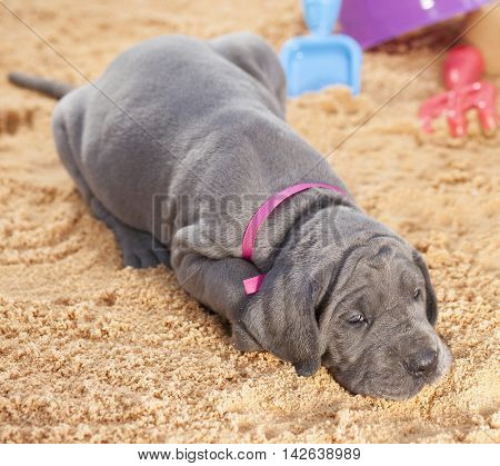 Grey Great Dane puppy purebred laying on beach sand