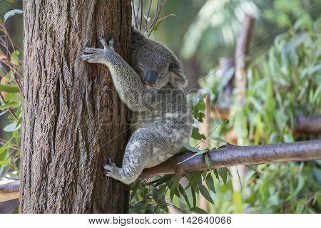 Koala resting in a tree - Queensland, Australia