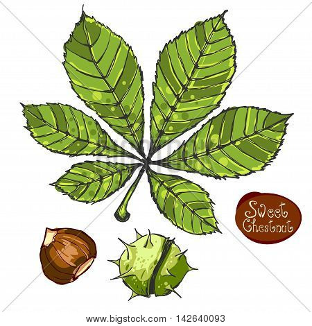 Spanish chestnut and chestnut leaves isolated on white. Set of graphic hand drawn illustrations.