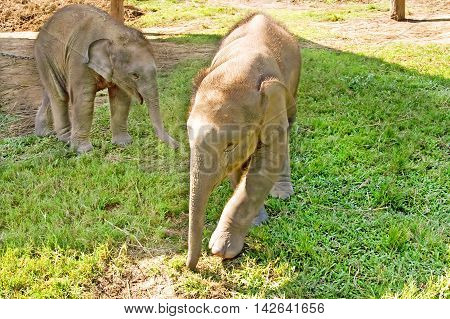 Elephants are playing on the farm at Chitwan nation park in Nepal