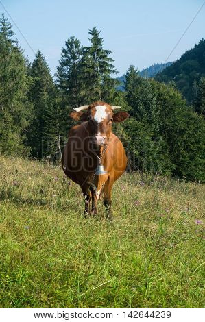 Red cow with a bell in the meadow on a background of forested mountains