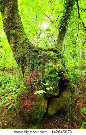 a picture of an exterior Pacific Northwest forest with a old growth Big leaf maple tree
